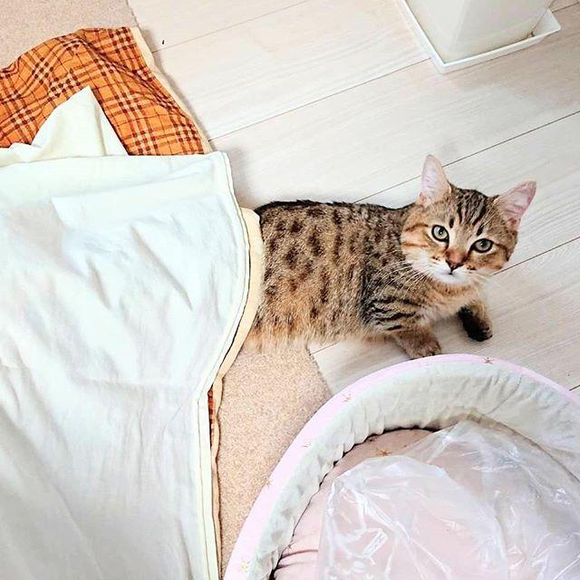 昨日こたつを出しました。タビちゃんにとっては初めてのこたつ。まだ、スイッチはいれてない。今日は、しばらくこたつに入った後、自分でこたつから体半分だして座っているタビを目撃。使い方わかってる。なかなかやるな、タビ...#catstagram #cat#minuet #猫#ねこすたぐらむ#ミヌエット#こたつ