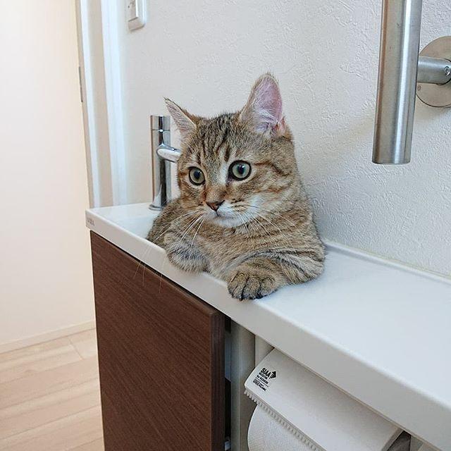 タビ、いないなー?どこいった?と探すとよくここにいます。トイレの猫さま。 便座に座ると目が合います。手を洗わせてもらえません…。 トイレットペーパーを使おうとすると猫手がのびてきます。 ご移動願えませんか?と聞いてみますがだめなようです…。 困るなぁ。 #catstagram#cat#猫#ねこすたぐらむ#にゃんすたぐらむ#ミヌエット#洗面台