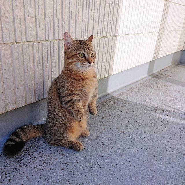 うちのミーアキャット。...#cat#ミーアキャット