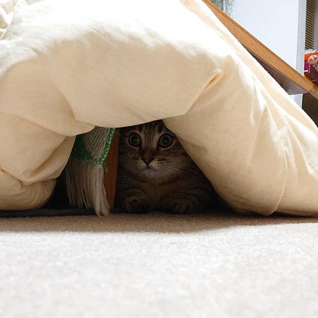 ちなみに、待ち構えている姿がこちら(笑)こたつは、タビのテリトリー…。 #cat #ねこ