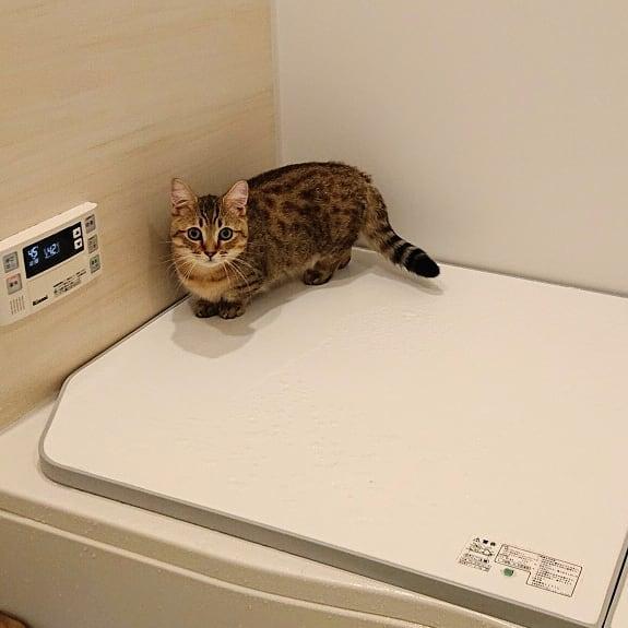 毎晩、お風呂の前で出待ちタビ。お風呂が気になってしょうがないみたい♪#cat#猫#子猫