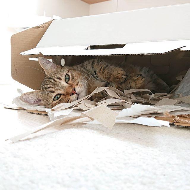 気に入った箱は、とことん使うタイプ。一枚目はタビがはじめて我が家に来たとき入っていた箱。箱は半分以上スペースがあるくらい小さかったタビなのに、今は箱以上に大きくなり、ぎゅうぎゅうに入ってます♪ ...#catstagram #cat #子猫#猫#ミヌエット