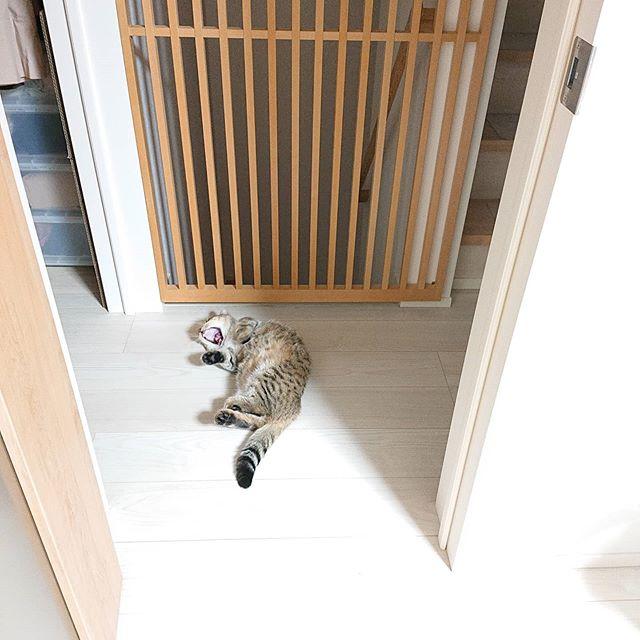 廊下に猫、落ちてる~。拾おうかなー。....#minutes #cat #猫 #子猫 #ミヌエット #キジトラ #ミヌエット男の子 #ねこすた #catstagram