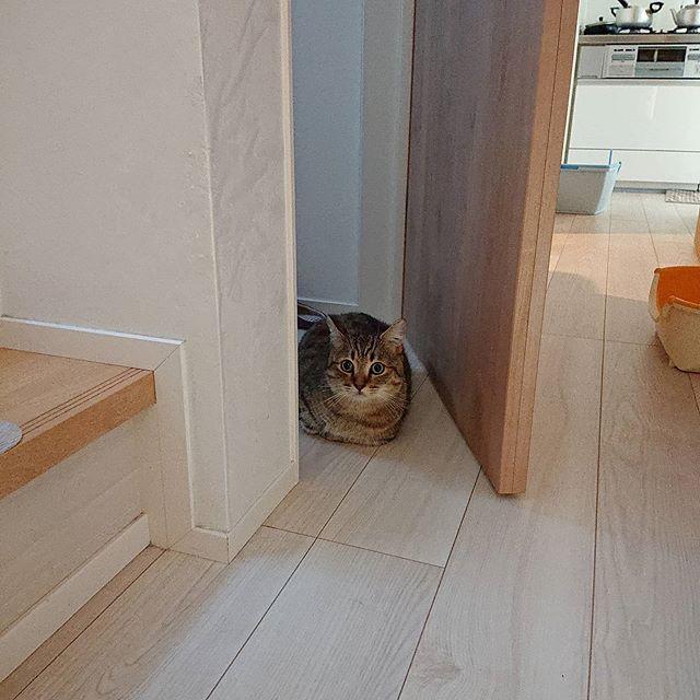 トイレ使う人は使用料をお支払いくださいニャー。..ひんやり涼しいトイレ。時々、タビの部屋になります…...#minutes #cat #猫 #子猫 #ミヌエット #キジトラ #ミヌエット男の子 #ねこすた #catstagram