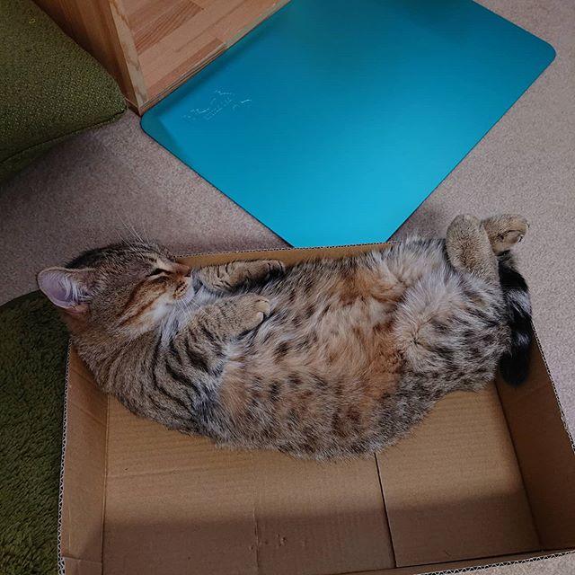 箱ですやすや。箱好きだねぇ(^_^)....#minutes #cat #猫 #子猫 #ミヌエット #キジトラ #ミヌエット男の子 #ねこすた #catstagram